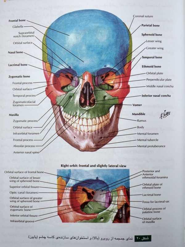 جمجمه ( آناتومی عمومی شمایلی یگانه )