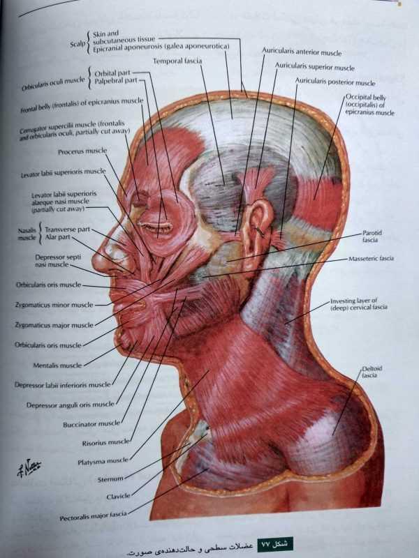 عضلات سطحی و حالت دهنده صورت