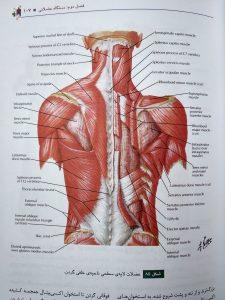 عضلات لایه سطحی ماحیه خلفی گردن