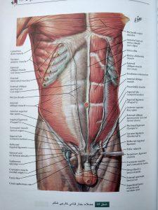 عضلات جدار قدامی خارجی شکم