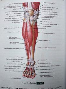 عضلات قدامی ساق ( آناتومی عمومی شمایلی یگانه )