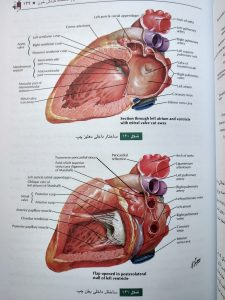 ساختار داخلی بطن ها ( آناتومی عمومی شمایلی یگانه )