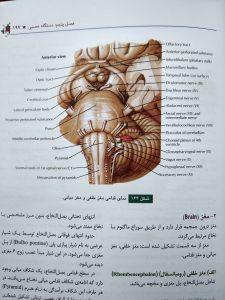نمای قدامی مغز خلفی و قدامی ( آناتومی عمومی شمایلی یگانه )