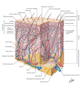 اجزای پوست ( اطلس آناتومی نتر 2019 )