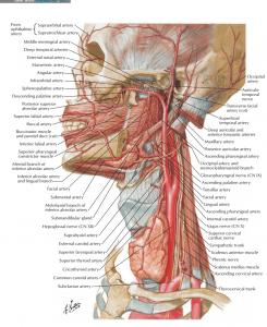 عروق سر و گردن ( اطلس آناتومی نتر 2019 )