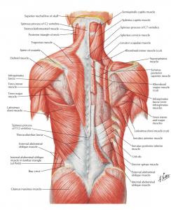 عضلات ناحیه پشت ( اطلس آناتومی نتر 2019 )