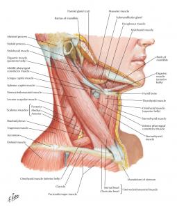 عضلات گردن