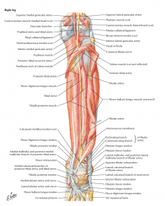 نمای خلفی از ساق پا