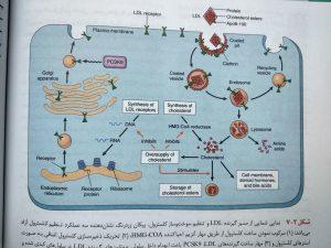 مسیر گیرنده LDL
