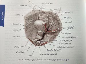 احشای لگن ( بارداری و زایمان ویلیامز جلد اول )