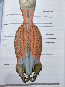 عضلات عمقی پشت ( آناتومی گری تنه جلد اول 2020 )