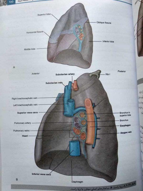 ریه ( آناتومی گری تنه جلد اول 2020 )