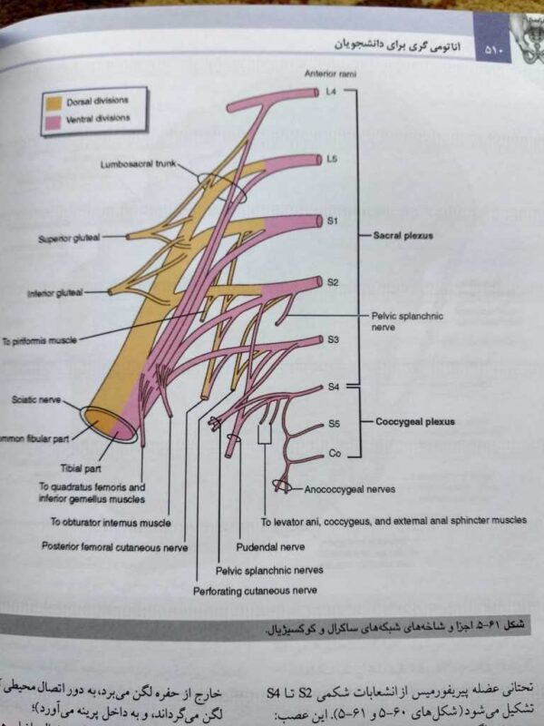 شبکه عصبی ساکرال