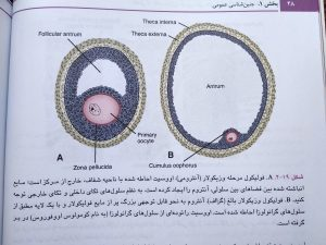 فولیکول مرحله وزیکولار ( جنین شناسی لانگمن حسن زاده 2019 )