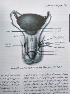 دستگاه تناسلی مردانه ( خلاصه ویلیامز سه جلدی گلبان )