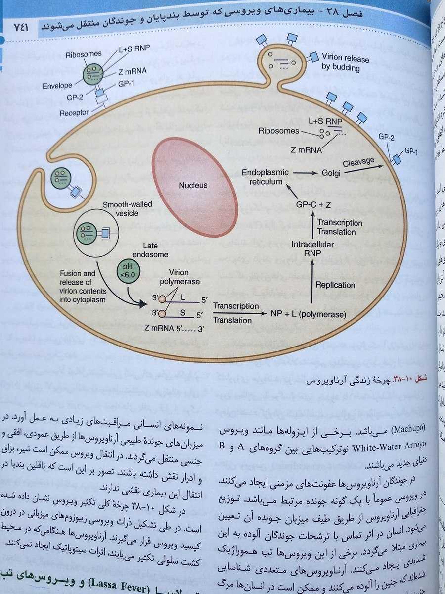 چرخه زندگی آرناویروس ( میکروب شناسی جاوتز اندیشه رفیع جلد دوم 2019 )