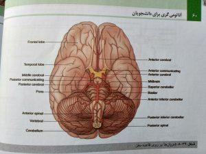شریان ها بر قاعده مغز