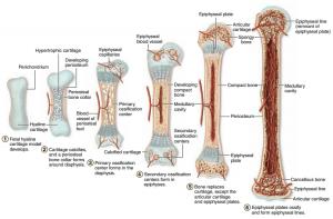 استخوان سازی استخوان های بلند از طریق داخلی غضروفی