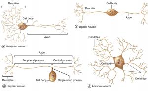انواع نورون های عصبی ( بافت شناسی جان کوئیرا ترجمه دکتر حسن زاده )