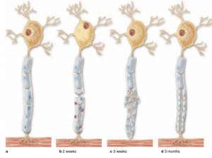 ترمیم نورون های محیطی ( بافت شناسی جان کوئیرا ترجمه دکتر حسن زاده )