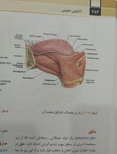 زبان و عضلات تشکیل دهنده آن