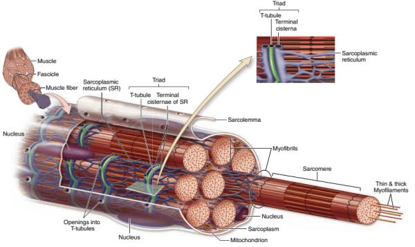 ساختار عضله اسکلتی ( بافت شناسی جان کوئیرا ترجمه دکتر حسن زاده )