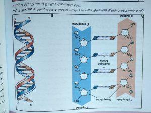 مارپیچ دو رشته ای DNA ( ژنتیک پزشکی امری لیلا یوسفیان )