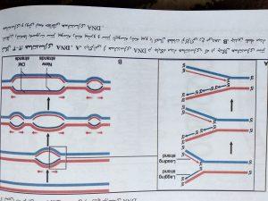 همانند سازی DNA ( ژنتیک پزشکی امری لیلا یوسفیان )