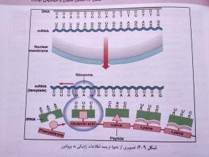 ترجمه اطلاعات ژنتیکی ( ژنتیک پزشکی امری لیلا یوسفیان )