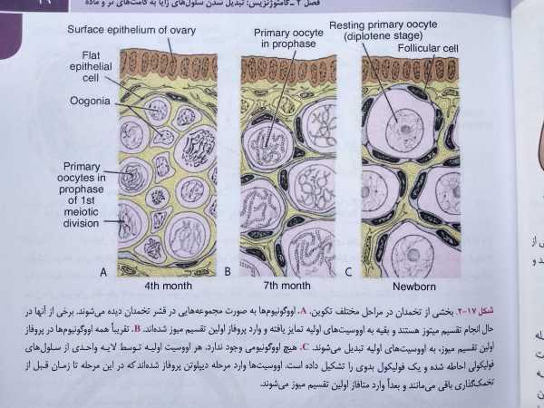 بخشی از تخمدان در مراحل مختلف تکوین