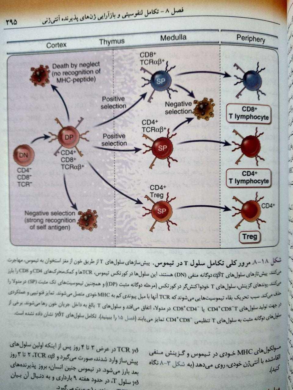 مرور کلی تکامل سلول T در تیموس