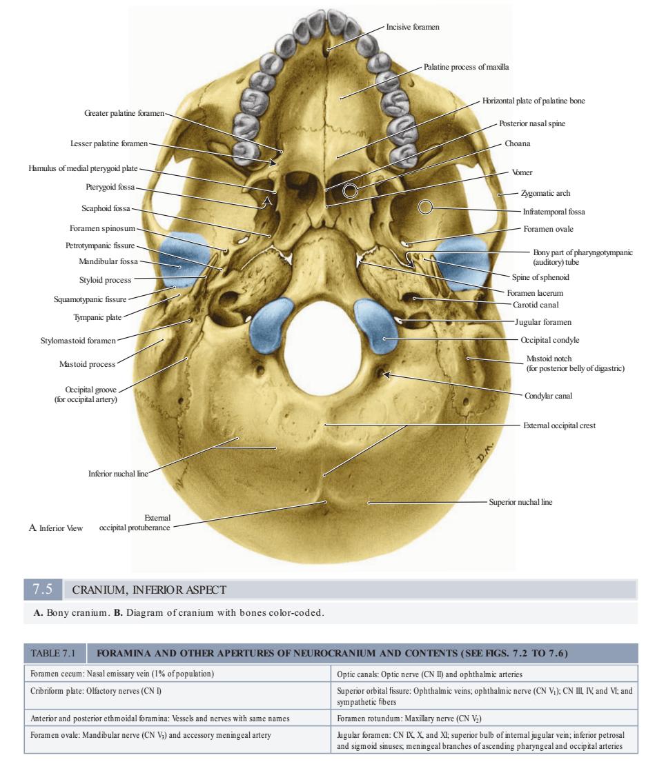 نمای تحتانی استخوان جمجمه